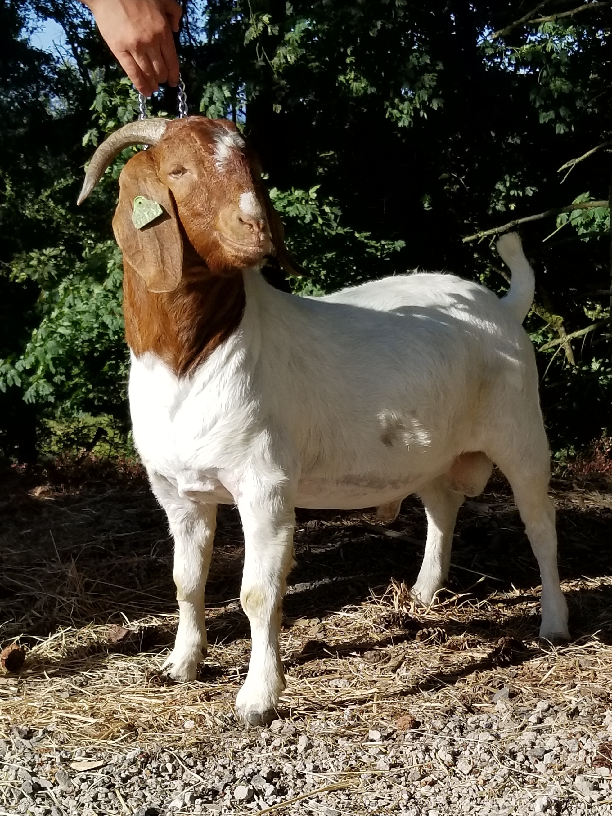 Full Blood Purebred Percentage and Market Show Wethers - Goats for Sale